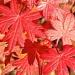 Geranium by sunnygreenwood
