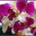 Judy's Orchid  by olivetreeann