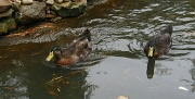 15th Nov 2011 - Another duckie picture