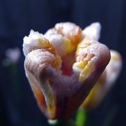 16th Nov 2011 - curled up flower