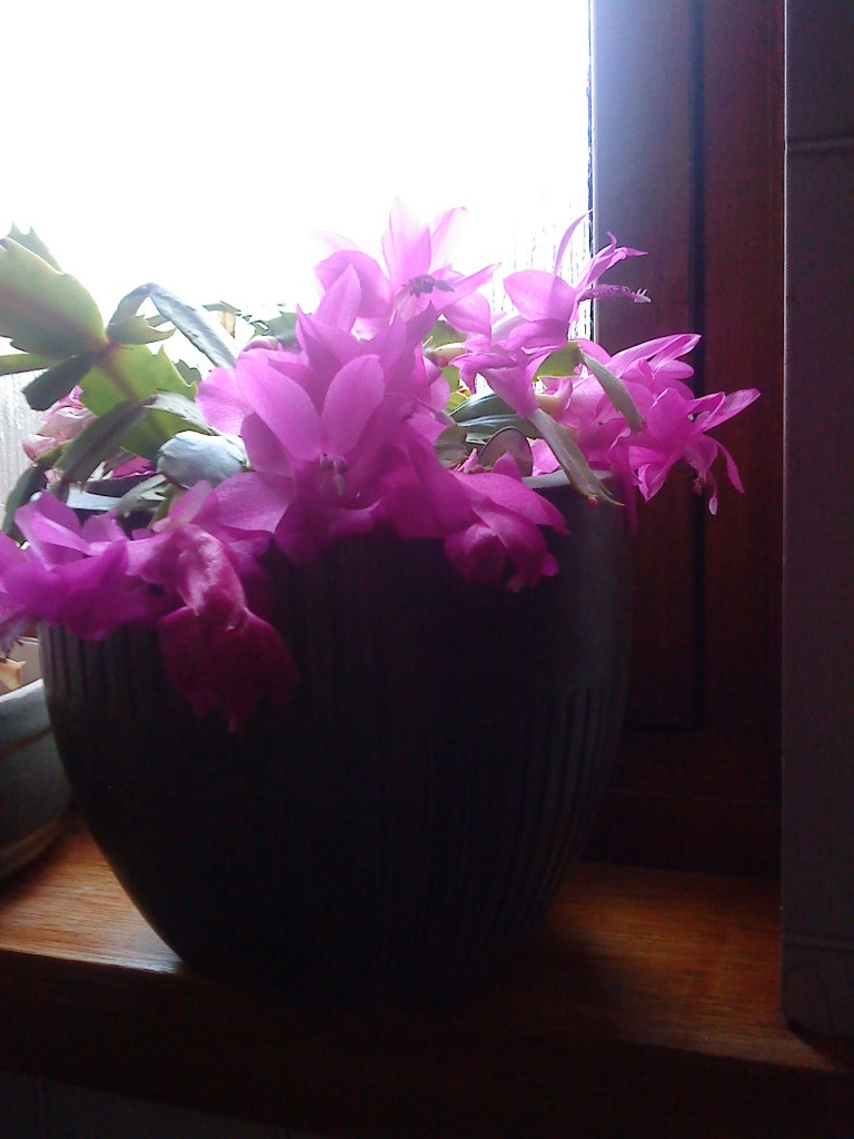 christmas cactus early by sarah19