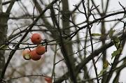 16th Nov 2011 - Adam's Apples?