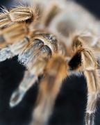 17th Nov 2011 - Mandibles Of A Tarantula