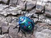 11th May 2010 - Cotton Tree Beetle