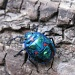 Cotton Tree Beetle by loey5150