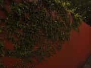 11th May 2010 - Ivy on Rouge Wall