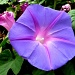 Ipomoea (Morning glory) by stiggle