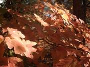 20th Nov 2011 - Maple Leaves in Backyard 11.20.11 002