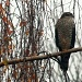 Sparrowhawk by natsnell