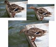21st Nov 2011 - Three Moments In A Ducks Life