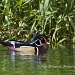 Wood Duck by twofunlabs