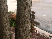 22nd Nov 2011 - Squirrel Climbing Up Tree 11.22.11