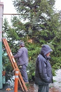 23rd Nov 2011 - Preparing The Pike Place Market Tree For The Market Holiday Kickoff On Saturday