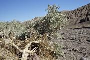 24th Nov 2011 - Desert Holly