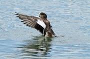 29th Nov 2011 - Widgeon Winging It