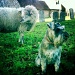 Sheep Dog! by andycoleborn