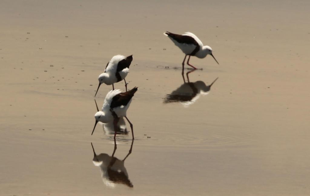 Banded Stilt - Port Augusta by lbmcshutter