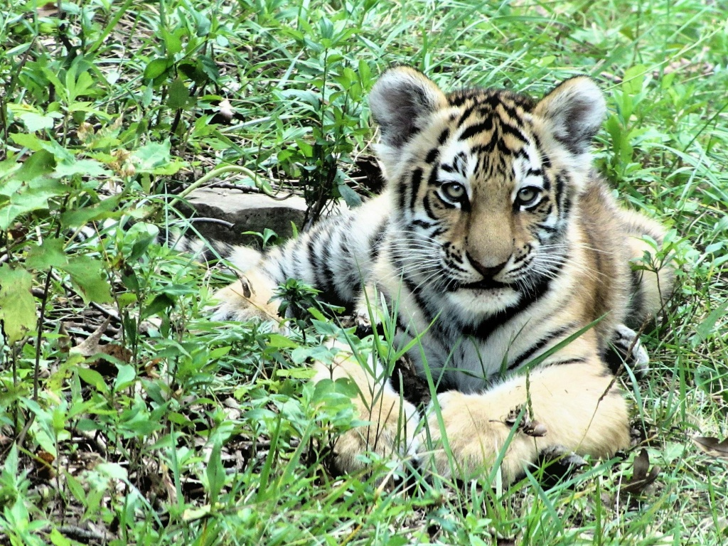 Tiger baby. by maggie2