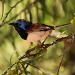 Variegated Fairy Wren - male by lbmcshutter