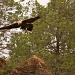 On the trail of the Wedge Tailed Eagle by lbmcshutter