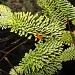 Fragrant pine by jmj