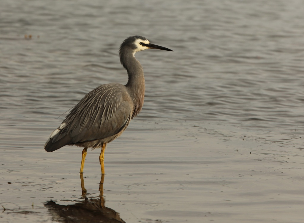 white faced heron - Lake Connewarre boat ramp by lbmcshutter