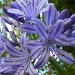 Agapanthus Flower by salza