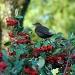 Blackbird in Cotoneaster by parisouailleurs