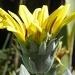 Yellow Daisy by salza