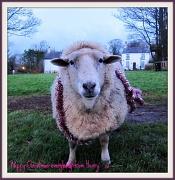 20th Dec 2011 - Glad I'm not a Turkey !!!