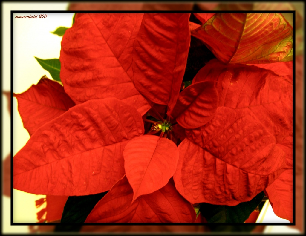 """things that say """"merry Christmas"""" - poinsettia by summerfield"""