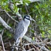 Yellow Crested Night Heron by twofunlabs