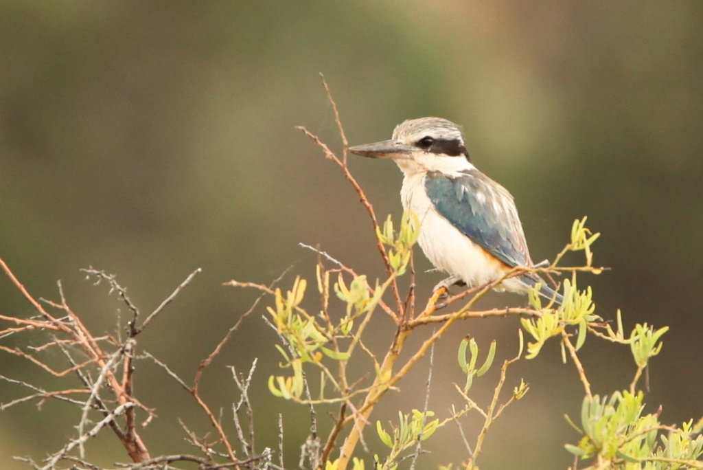 Red Backed Kingfisher - honestly, he does have a patch of reddish brown on his back by lbmcshutter