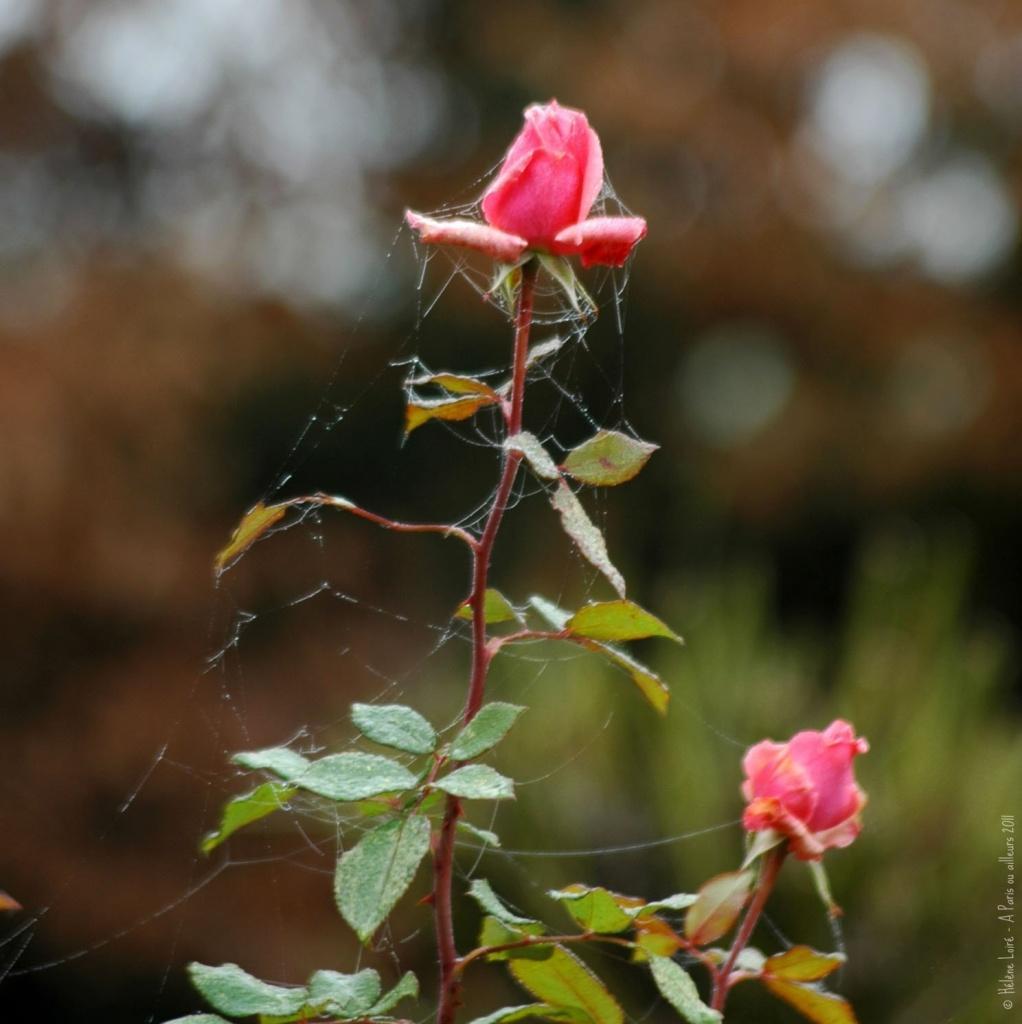 December roses  by parisouailleurs