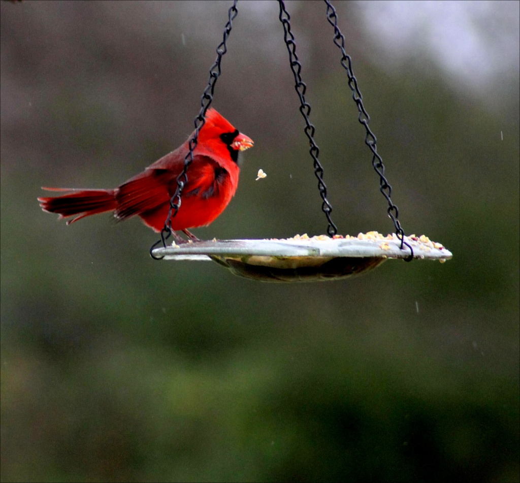 Cardinals heart birdseed! by cjwhite
