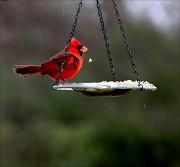 27th Dec 2011 - Cardinals heart birdseed!