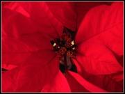 28th Dec 2011 - Poinsettia