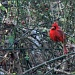 cardinal by hjbenson