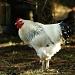 Cock #2 by parisouailleurs