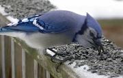 2nd Jan 2012 - Blue Jay's Turn
