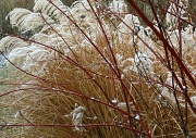 2nd Jan 2012 - Snow covered plumes