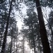 Tall trees by bruni