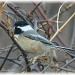 Black Capped Chickadee by mjmaven