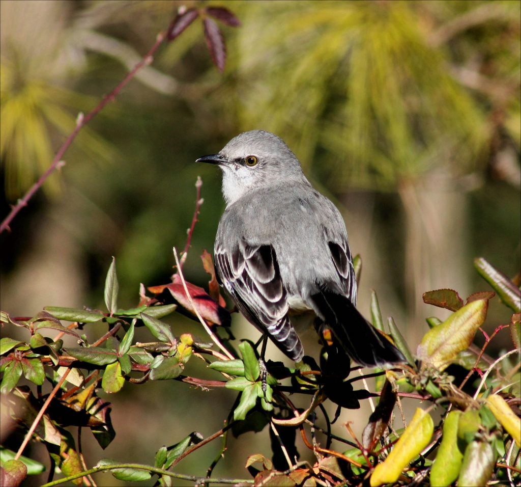 If that mockingbird don't sing by cjwhite
