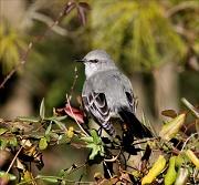 3rd Jan 2012 - If that mockingbird don't sing