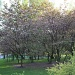 365-Cherry trees in bloom IMG_3097 by annelis
