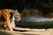 3rd Jan 2012 - Mama Tiger
