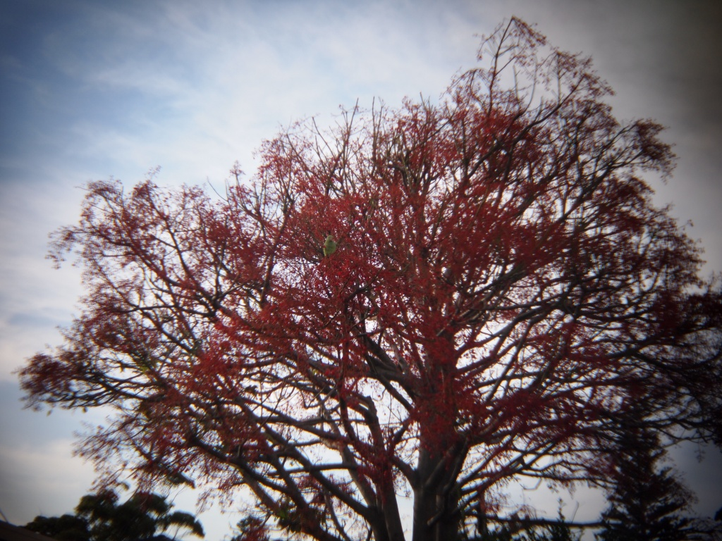 Flame tree with parrot by peterdegraaff