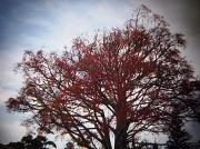 4th Jan 2012 - Flame tree with parrot
