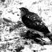 The hawk by bruni